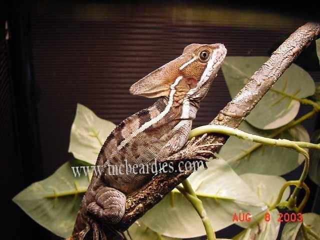 http://www.tncbeardies.com/Images/brownbasilisk.jpg